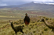 an Aymara indian woman tends to her llamas in Bolivia's altiplano region.