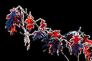 Red oak leaves, rimmed by hoar frost, sparkle and glow in the low-angle sunlight on a cold winter morning.