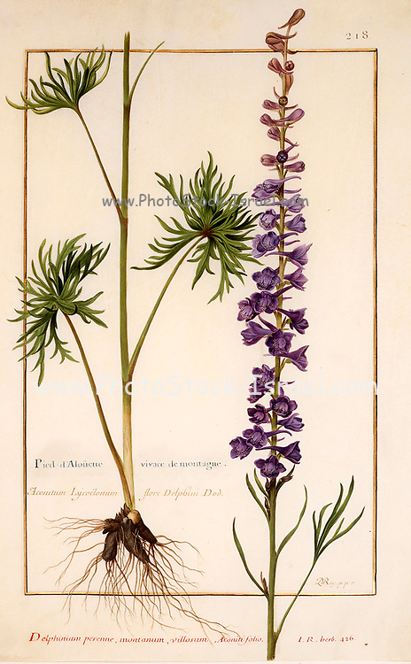 Delphinium (larkspur) a 17th century hand painted on Parchment botany study of a from the Jardin du Roi botanical Florilegium of Prince Eugene of Savoy collection, Paris c. 1670 artist: Nicolas Robert