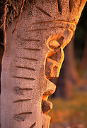 Coconut Palm Carved into Tiki's, Island of Hawaii, Hawaii, USA<br />