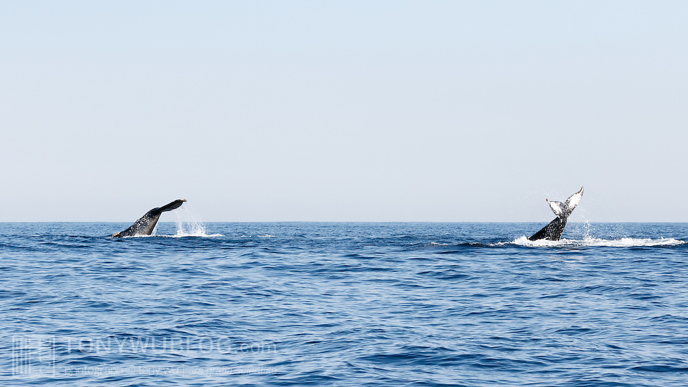 Two adult southern hemisphere humpback whales (Megaptera novaeangliae australis) tail slapping together. This pair was traveling north together in the winter. The one on the left is female; the one on the right male.