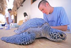Ryan Horan Working With Black Sea Turtle
