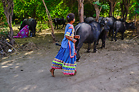 Inde, Gujarat, Kutch, village de Hodka, population d'ethnie Meghwal, traite des buffles // India, Gujarat, Kutch, Hodka village, Meghwal ethnic group, buffalo milking