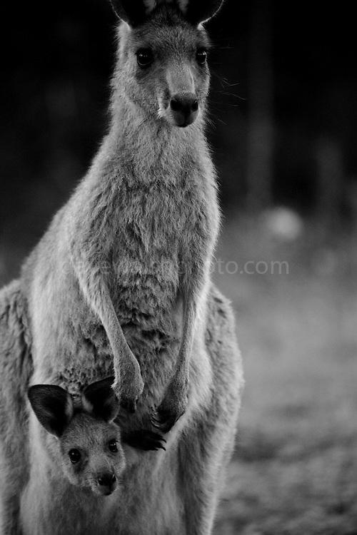 Mother with joey kangaroo in the pouch. Eastern Grey Kangaroo, at Tom Groggins, Mount Kosciuszko National Park