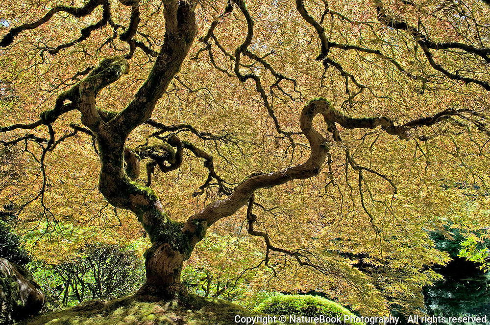 An interesting, almost eerie view from the inside canopy of a Japanese Maple.