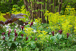 Trillium sessile with Euphorbia amygdaloides var. robbiae, Rheum and hazlenuts in the Nuttery at Sissinghurst Castle Garden