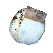 birch brittlegill<br /> Russula betularum