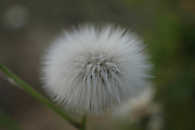 Dandelion - Fluffy sead ball