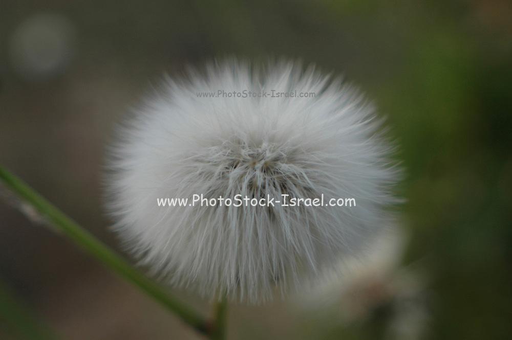 Dandelion - Fluffy sead ball
