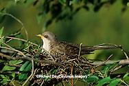 01099-00614 Yellow-billed cuckoo (Coccyzus americanus) adult brooding nestlings   IL