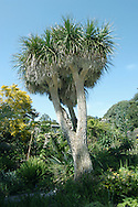 Cabbage Palm Cordyline australis (Agavaceae) HEIGHT to 13m <br /> A superficially palm-like evergreen. Trees that have flowered have a forked trunk with a crown of foliage on top of each fork. BARK Pale brownish-grey, ridged and furrowed. LEAVES Tall, bare trunks are crowned with dense masses of long, spear-like, parallel-veined leaves, to 90cm long and 8cm wide. Upper leaves are mostly erect, but lower leaves hang down to cover top of trunk. REPRODUCTIVE PARTS Flowers are produced in midsummer in large spikes, to 1.2m long comprising numerous small, fragrant, creamy-white flowers, each about 1cm across, with 6 lobes and 6 stamens. Fruit is a small rounded bluish-white berry about 6mm across containing several black seeds. STATUS AND DISTRIBUTION Native of New Zealand, planted here for ornament. It survives quite far north, as long as there is some protection from severe cold, and tolerates a range of soil types. Often used to create the illusion of sub-tropical conditions in coastal resorts.