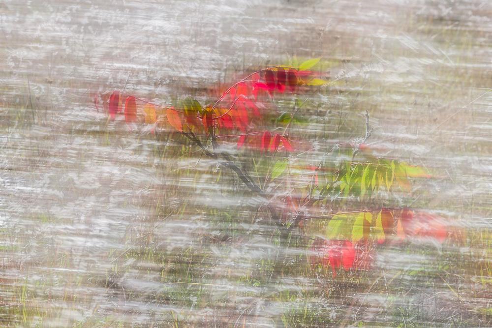 Wild sumac (Rhus spp.), October, middle Michigan, USA