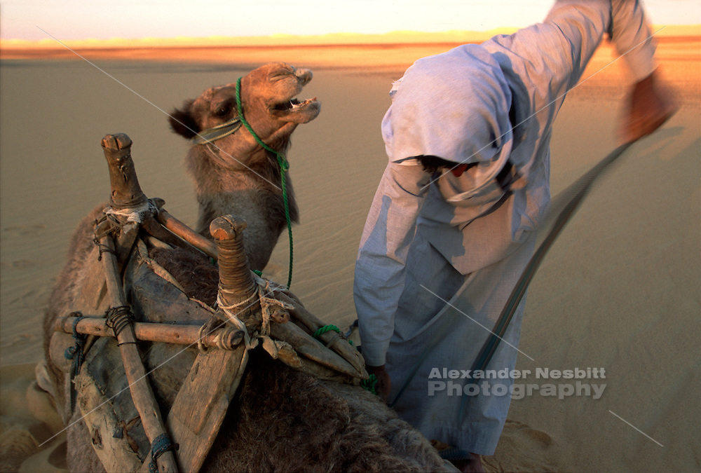 Egypt, 2000 - A bedouin guide removes a resting camel's saddle after a long day of trekking in the desert.