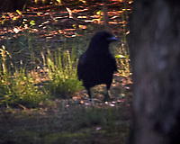 American Crow. Image taken with a Nikon D4 camera and 80-400 mm VR lens.