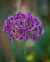Allium. Image taken with a Nikon Df camera and 70-200 mm f/2.8 lens.