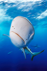 motion blur, Galapagos shark with copepod parasites, Carcharhinus galapagensis, North Shore, Oahu, Hawaii, USA, Pacific Ocean