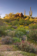 Wildflowers and cactus at Saguaro Lake in the Tonto National Forest, near Fountain Hills, outside of Phoenix, Arizona.