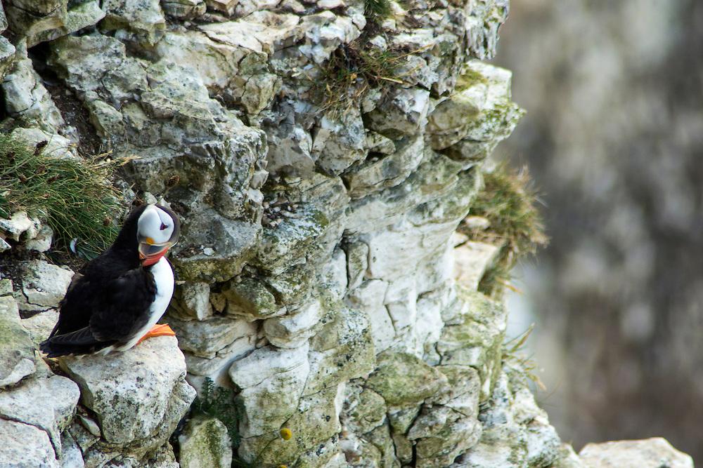 Puffins at RSPB Bempton Cliffs.