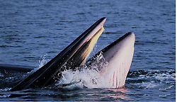 April 26, 2018 - Beihai, Guangxi, China - Chinese experts first time find large amount of whales in China mainland in Beihai, Guangxi, China on 26 April 2018. (Credit Image: © TPG via ZUMA Press)