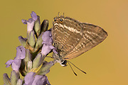 Long Tailed Blue Butterfly, Lampides boeticus, male, Controlled situation, UK