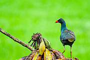 American Purple Gallinule (Also Purple Gallinule) (Porphyrio martinica) displaying brightly coloured wings. Photographed in Costa Rica