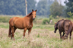 Horses in the field, O So Lucky CD<br /> Mendonk 2020<br /> © Hippo Foto - Dirk Caremans<br />  11/06/2020