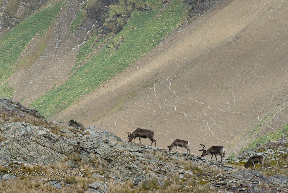 Elk, descended from animals imported by Swedish explorer Otto Nordenskjöld, graze on a ridge near Stromness Bay, South Georgia, Antarctica.