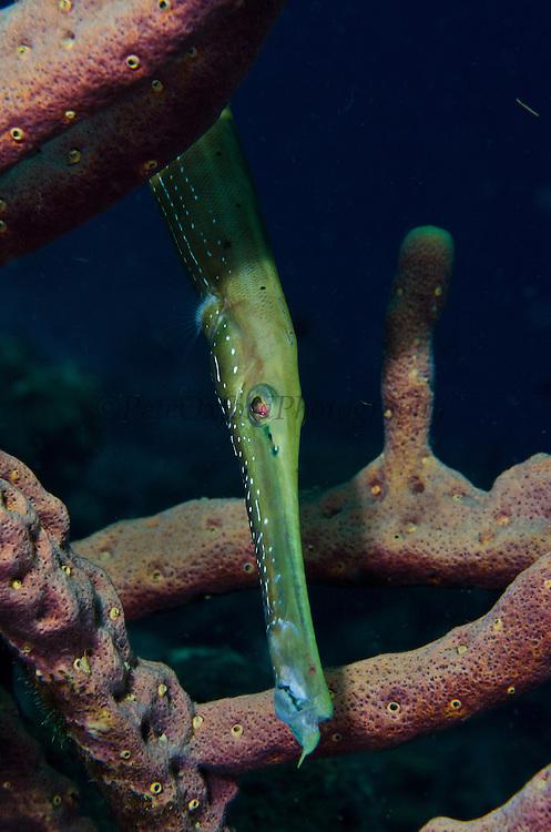 Trumpetfish (Aulostomus maculatus)<br /> BONAIRE, Netherlands Antilles, Caribbean<br /> HABITAT & DISTRIBUTION: Coral Reefs from Florida, Bahamas, Caribbean, Gulf of Mexico, Bermuda south to Brazil