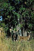 White-tailed deer - Buck and doe - during rut.
