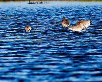 Greater Yellowlegs (Tringa melanoleuca). Black Point Wildlife Drive. Merritt Island National Wildlife Refuge. Image taken with a Nikon D3s camera and 600 mm f/4 VR lens.