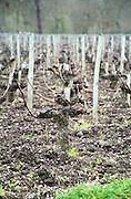 Vines. Guyout. Domaine du Chevalier. Graves, Pessac Leognan Bordeaux France