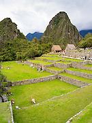 Llamas graze at the Incan ruins of Machu Picchu, with Huayna PIcchu rising in the background, near Aguas Calientes, Peru.