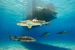 Lemon Sharks, Negaprion brevirostris, with sharksuckers, Echeneis naucrates, swimming under boat, West End, Grand Bahama, Bahamas, Atlantic Ocean.