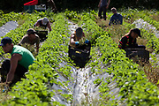 workers in rows picking strawberries in a field, Riverford organic farm, Devon, UK food industry