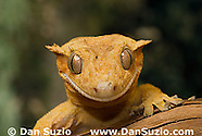 Crested Gecko, Rhacodactylus ciliatus