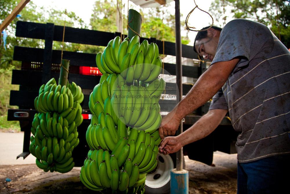 A worker processes bananas at a plantation in Adjuntas Puerto Rico.