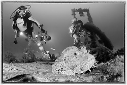 Schiffswrack Bristol Beaufighter vom 2. Weltkrieg und Taucher und Scorpaena scrofa, Grosse Meersau,  Schwarzweiss Aufnahme, Shipwreck Bristol Beaufighter from 2nd world war and Scuba diver and Red Scorpionfish, black and white, Malta