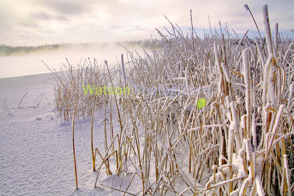 Winter Sunshine Among the Frozen Reeds