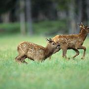 Elk, (Cervus elaphus) Twin spring calves running and playing in meadow. Evening Spring.