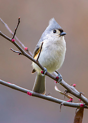 A Tufted Titmouse On A Blooming Tree With Pink Blooms