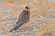Red footed falcon (falco vespertinus)  juvenile standing. This bird of prey is found in eastern Europe and Asia, but has become a near-threatened species (as of 2008) due to habitat loss and hunting. It preys mainly on large insects but also feeds on small mammals, amphibians, reptiles and birds. Photographed in Israel in October