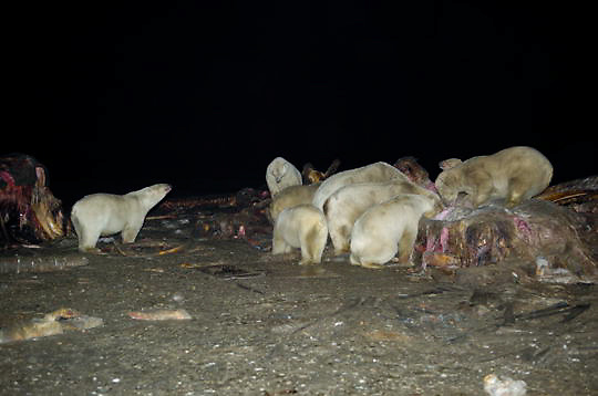 Polar Bear(Ursusmaritimus) feeding on carcass of a bowhead whale.(Balaena mysticetus)  Alaska.