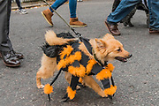 One of the winners crosses the road - A charity Halloween Dog Walk and Fancy Dress Show organised by All Dogs Matter at the Spaniards Inn, Hampstead. London 29 Oct 2017.