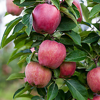 Fruit Trees and Orchards