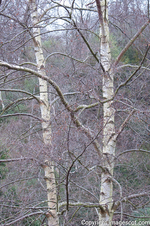 Autumn Birch<br /> *ADD TO CART FOR LICENSING OPTIONS*