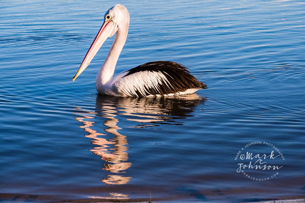 Australian Pelican, Golden Beach, Sunshine Coast, Queensland, Australia