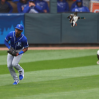 MINNEAPOLIS, MINNESOTA - MAY 30:  Jarrod Dyson #1 of the Kansas City Royals makes the play while ducks in the outfield fly away in the first inning against the Minnesota Twins at Target Field on May 30, 2021 in Minneapolis, Minnesota. (Photo by Adam Bettcher/Getty Images) *** Local Caption *** Jarrod Dyson
