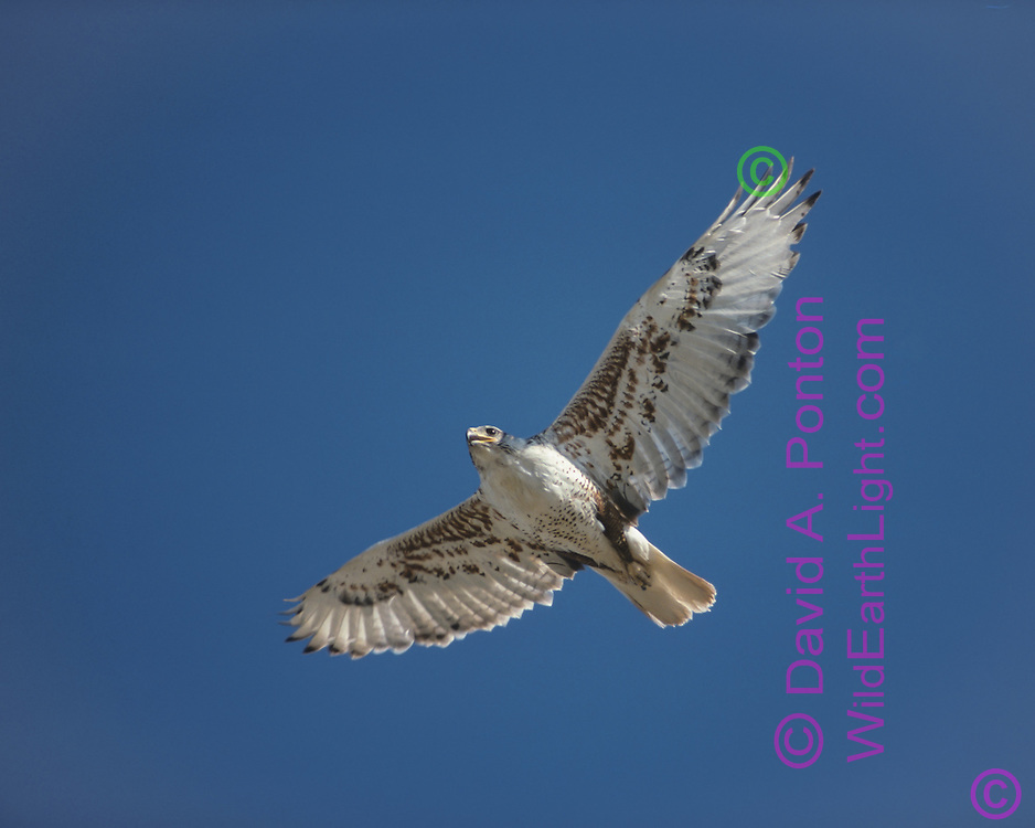 """Ferruginous hawk in flight overhead against blue sky [Note: This photo was on the Getty Images website for about 5 years, and had some spectacular sales including a lucrative corporate use. Then there were no sales for 3 years and Getty took it down. Now they only have five """"ferruginous hawk"""" photos, and 4 are mis-identified.  Getty has NOTHING LIKE THIS BEAUTIFUL IMAGE OF A WILD  FERRUGINOUS HAWK.] © David A. Ponton"""