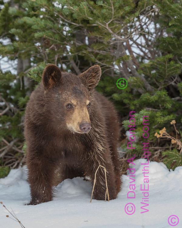 Young blackbear in snow, looking intently, edge of forest, with a fir trees, Montana, © David A. Ponton