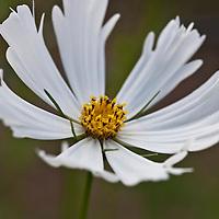 White Cosmos bipinnatus, a fast growing, daisy-like annual with ferny foliage.